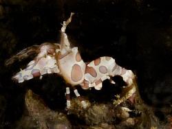 Harlequin shrimp. Canon G10... by Andrew Macleod