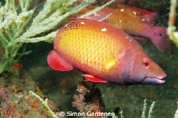 diana hogfish