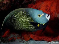 This image of a French Angelfish was taken last Friday wh... by Steven Anderson
