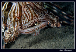 The last look... lionfish gulping it's dinner. by Sven Tramaux