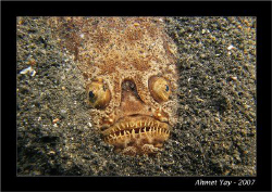 Devil fish, Lembeh channel, Kunkungan Bay, Dive site:Telu... by Ahmet Yay