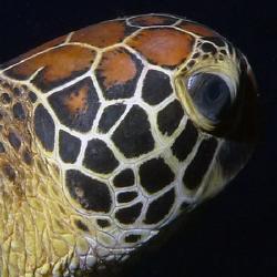 Profile of a Green Turtle by Martin Dalsaso