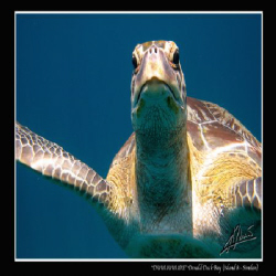 """the """"usual"""" green turtle hanging around the back of our b... by Adriano Trapani"""