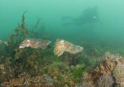 Cuttlefish. Babbacombe. D200, 16mm. by Derek Haslam