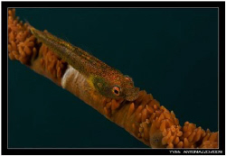 Weird looking whip coral goby not seethrough like the oth... by Yves Antoniazzo