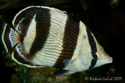 Banded Butterflyfish-no croping-Bonaire 2009 by Richard Goluch