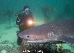 diving with the sevengill sharks (cowsharks) in False Bay... by Geoff Spiby