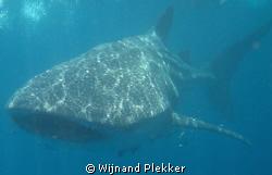 Whaleshark snorkeling. by Wijnand Plekker