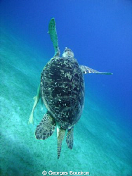 abu dabab turtle by Georges Boudron
