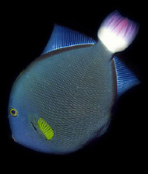 Yellowfin Surgeonfish by Martin Dalsaso