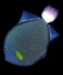 Yellowfin Surgeonfish by Martin Dalsaso