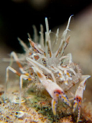 cnon g10.. tiger shrimp by Andrew Macleod