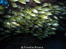 School of grunts @ Andrea Dive Site by Frankie Rivera
