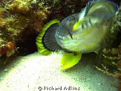 Splendid Toadfish native to Cozumel when feeding by Richard Adkins