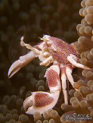Anemone porcelain crab (Neopetrolisthes maculatus) trying... by Marco Waagmeester