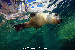 Sea lion. by Miguel Cortes