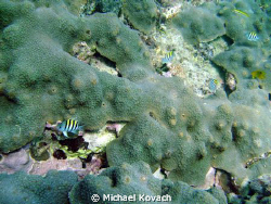 Sargeant Majors on coral on the first reef line at the An... by Michael Kovach