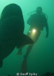 diving with cowsharks by Geoff Spiby