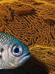 soldierfish w/fan by Martin Dalsaso