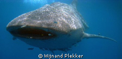 Snorkeling with whaleshark by Wijnand Plekker