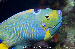 The jewel of the Caribbean - The Queen Angelfish, Black C... by Tobias Reitmayr