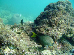Yellow Tailed Damselfish on the Inside Reef at Lauderdale... by Michael Kovach