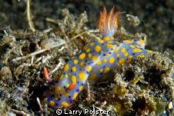 Hypselodoris sp. 2, D300-60mm by Larry Polster