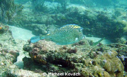 Honey comb Cowfish on the Inside Reef at Lauderdale by th... by Michael Kovach