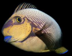 Eyestripe Surgeonfish by Martin Dalsaso