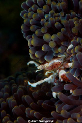 Feeding porcelain crab. by Adam Skrzypczyk
