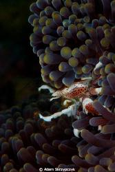Feeding porcelain crab. by Adam Skrzypczyk