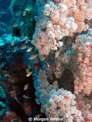 Soft Coral Landscape at 100 feet. Sea and Sea DX-1G. by Morgan Ashton