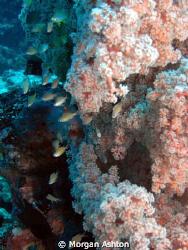 Soft Coral Landscape at 100 feet. Sea and Sea DX-1G. by Morgan Ashton