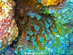 Sea Anemone at Freeport Bahamas.  Photo taken May 2009 wi... by Bonnie Conley