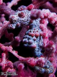 Pygmy seahorse (Hypocampus bargibanti) - Tulamben, Bali (... by Marco Waagmeester