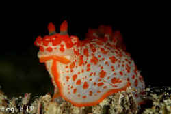Nudi Branch, Canon EOS 400D, Sea n Sea housing and YS 90 ... by Teguh Tirtaputra