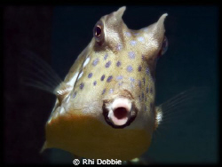 MOO - Cow Fish - You looking at me???? House reef at Gap... by Rhi Dobbie