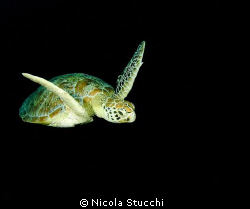 Turtle swimming in Sipadan. Oly C5060 with two YS-60/S s... by Nicola Stucchi