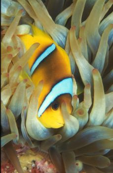Clown Fish /  Nikon N90 with 105mm,  Red Sea by David Gallardo