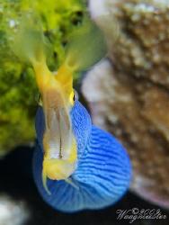 Blue Ribbon Eel (Rhinomuraena quaesita) - Nusa Penida, Ba... by Marco Waagmeester