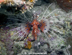 A Spotfin Lionfish (Pterois antennata) At Magic Pasage ne... by Jan Messersmith