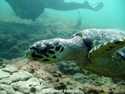 Sea Turtle on the Inside Reef at Lauderdale by the Sea. by Michael Kovach