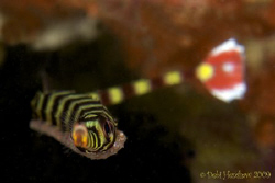 """Egg Cargo"" Banded Pipefish carrying his precious cargo o... by Debi Henshaw"