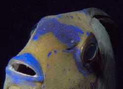 Eyestripe Surgeonfish II by Martin Dalsaso