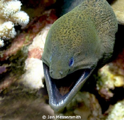 Gymnothorax javanicus. I've got hundreds of Moray images.... by Jan Messersmith