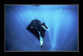 MANTA 4. Maldives Nik. V, 15mm by Johannes Felten