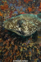 Starry Puffer mosaic. Taken off Bangka Island with a Sea ... by Morgan Ashton