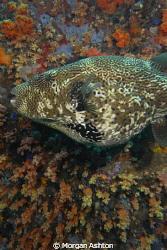Starry Puffer mosaic. Taken off Bangka Island with a Sea ... by Morgan Ashton