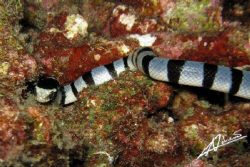banded sea snake, so fascinating! by Adriano Trapani
