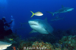 Finally got a decent shot of a yellowtail snapper. by Kevin Bryant